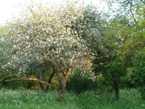 Old apple trees in the orchard